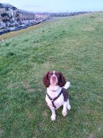Springer Spaniel for stud