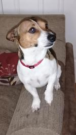 Jack Russell for stud