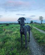 Great Dane for stud