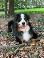 Bernese Mountain for stud