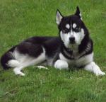 Siberian Husky for stud