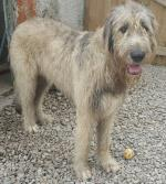 Irish Wolfhound for stud