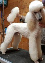 Poodle for stud