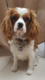Cavalier King Charles for stud