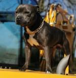 Staffordshire Bull Terrier for stud