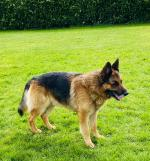 German Shepherd for stud