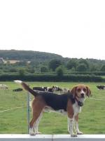Beagle for stud