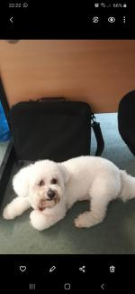 Bichon Frise for stud