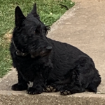 Scottish Terrier for stud