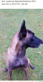 Belgian Shepherd for stud