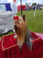 Yorkshire Terrier for stud