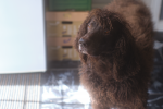 Irish Water Spaniel for stud
