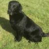 Labrador dog for stud