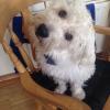 West Highland dog for stud