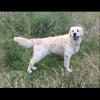 Golden Retriever dog for stud