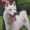 Siberian Husky dog for stud