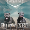 Staffordshire Bull Terrier dog for stud