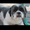 Lhasa Apso dog for stud