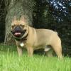 Bulldog dog for stud