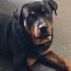Rottweiler dog for stud