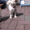 Maltese dog for stud